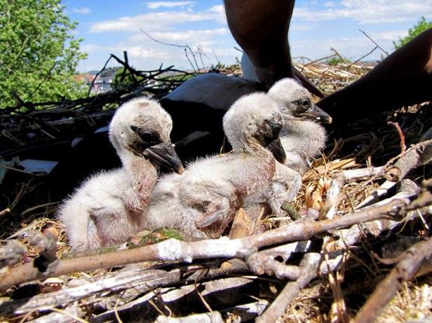 stork-flies-thousands-miles-friend-klepetan-malena-croatia-8.jpg